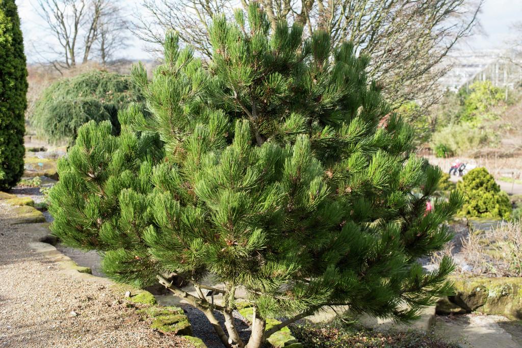 Bosnian pine 'Compact Gem'