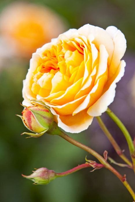rose [Crown Princess Margareta]