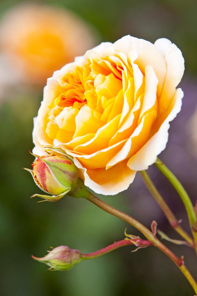rose [Crown Princess Margareta]