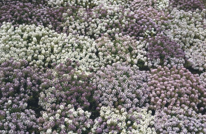 sweet alyssum Golf Series