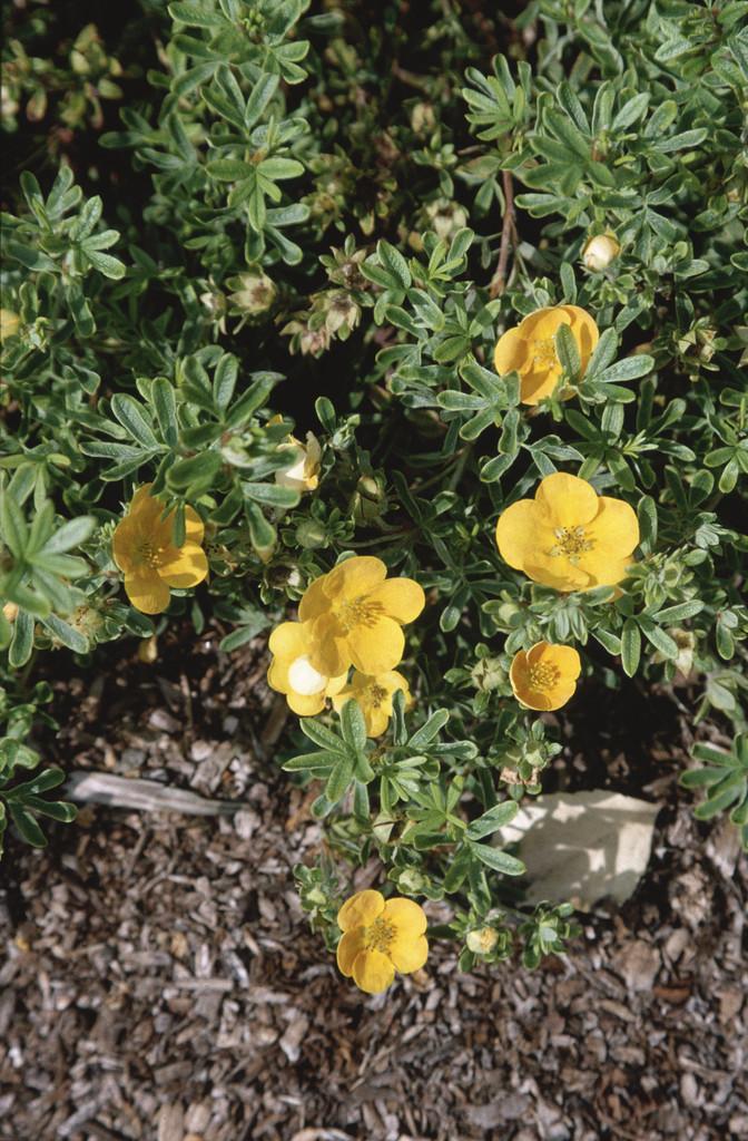 shrubby cinquefoil 'Tangerine'