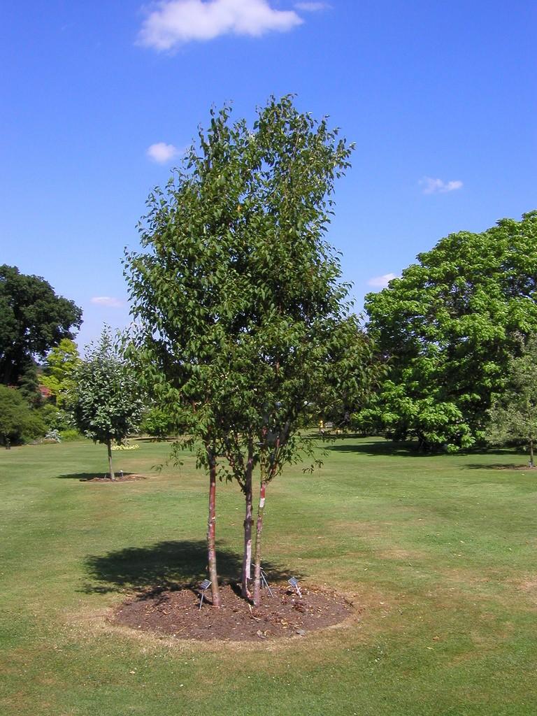<i>Betula albosinensis</i> var. <i>septentrionalis</i>