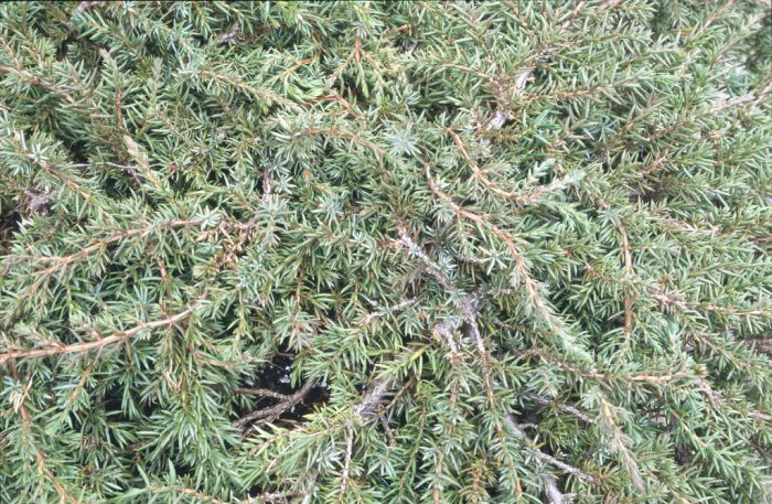 juniper 'Green Carpet'