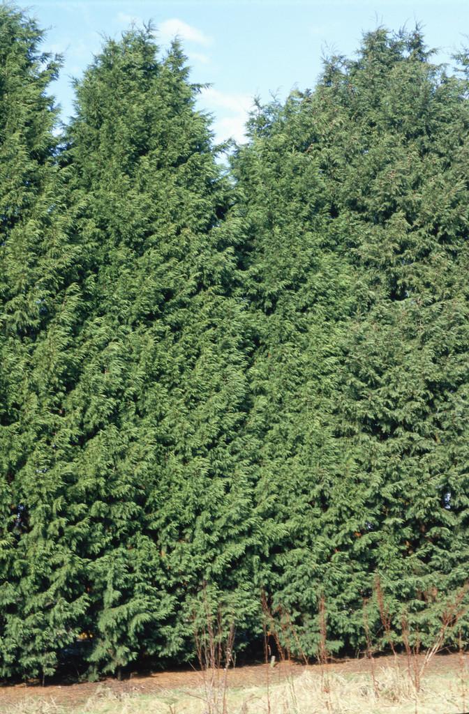 Leyland cypress