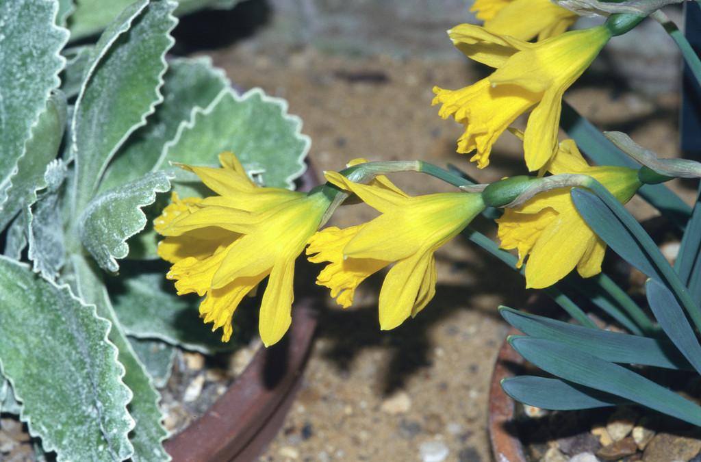 daffodil 'Cedric Morris'