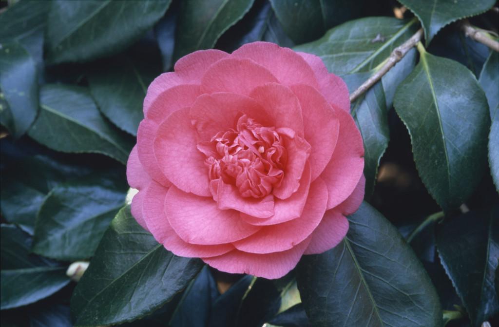 camellia Elegans'