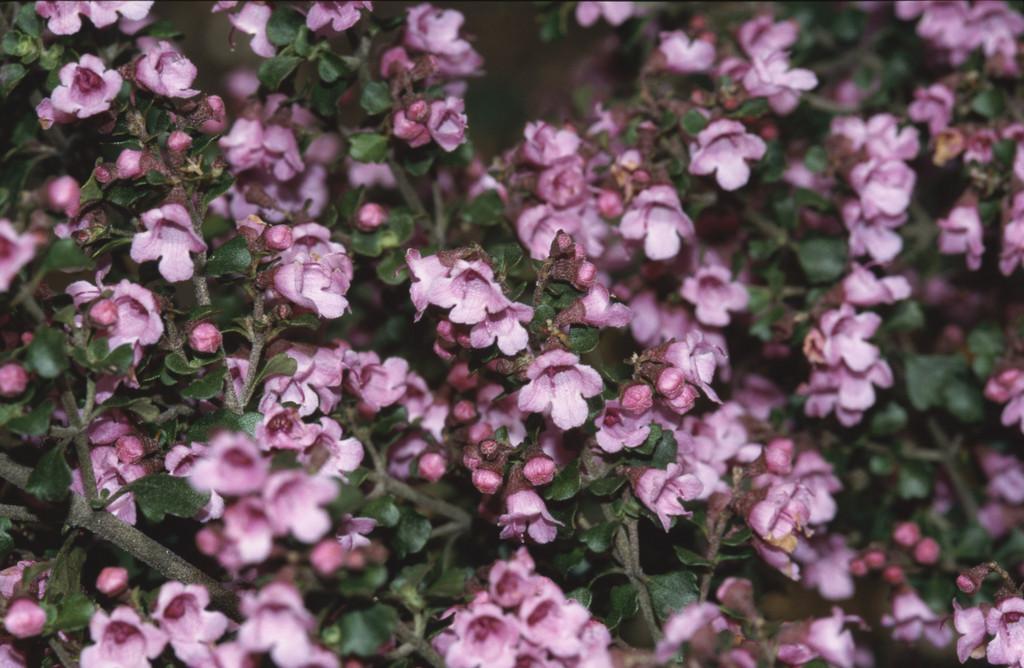 pink round-leaf mintbush