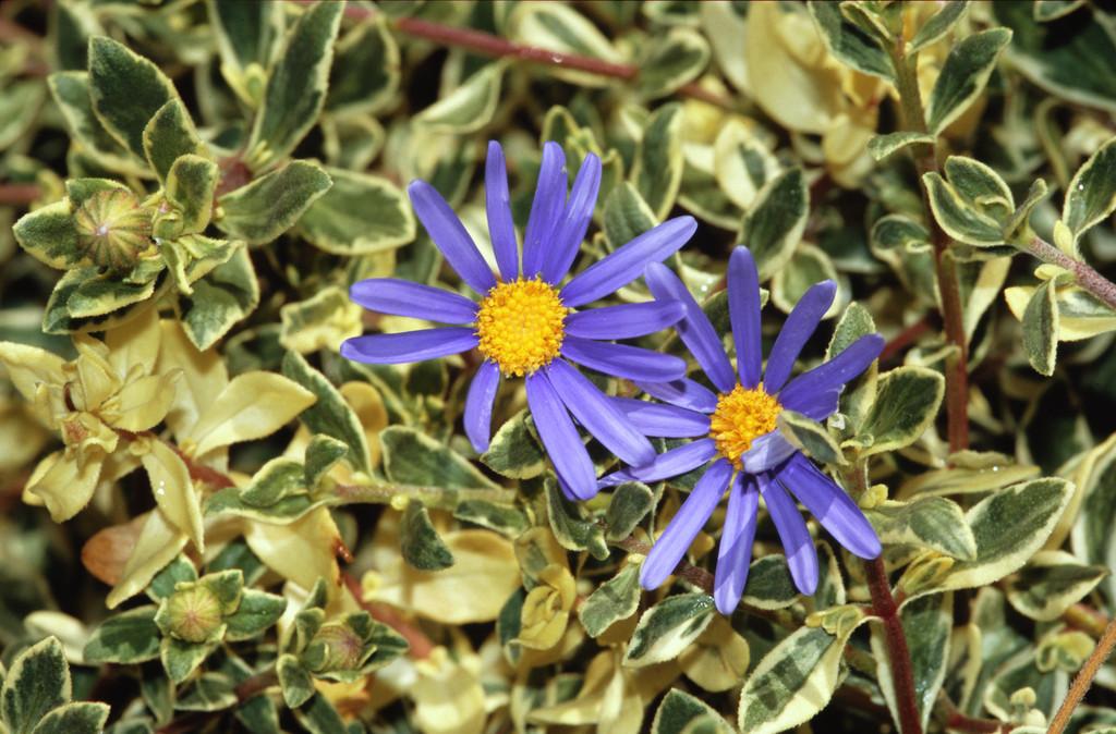 blue daisy 'Santa Anita Variegated'