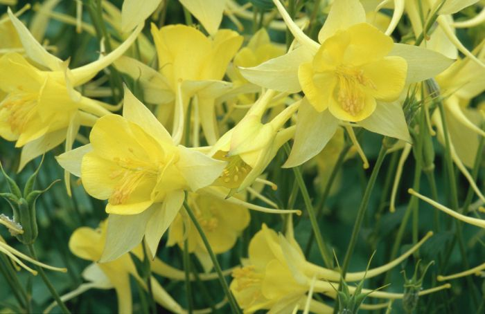 columbine 'Yellow Queen'