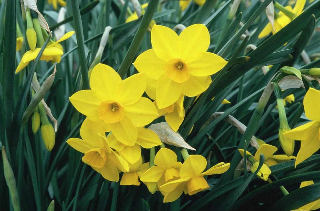 daffodil 'Stratosphere'