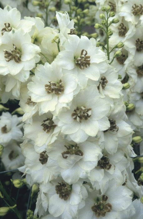 larkspur 'Celebration'