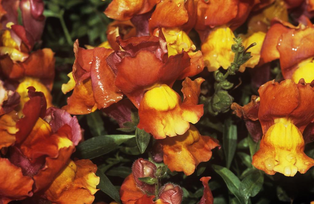 snapdragon 'Floral Showers Deep Bronze'