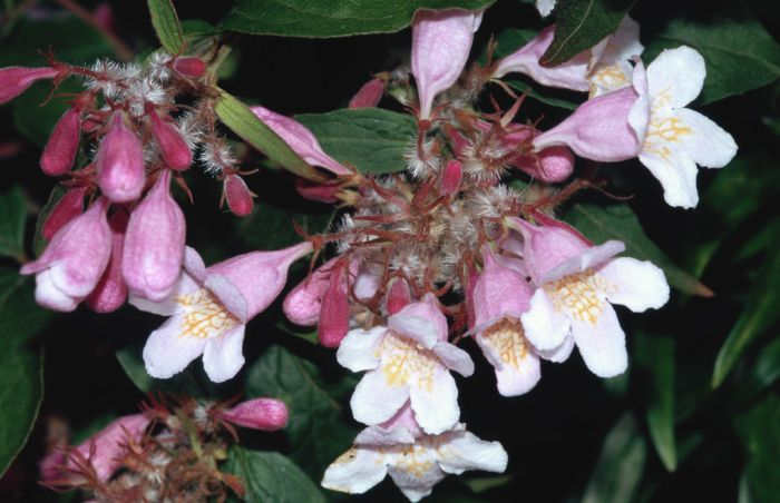 Kolkwitzia amabilis pink cloud beauty bush pink cloudrhs beauty bush pink cloud mightylinksfo