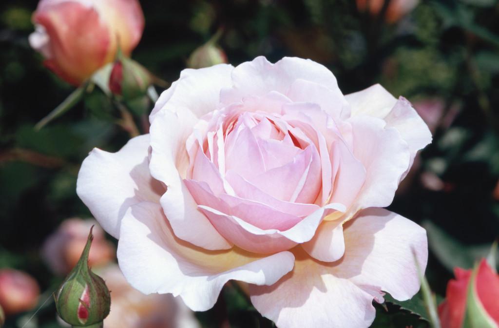 rose [A Shropshire Lad}