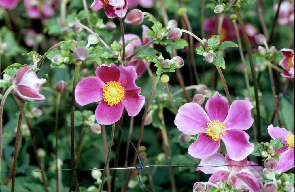 Japanese anemone 'Splendens'