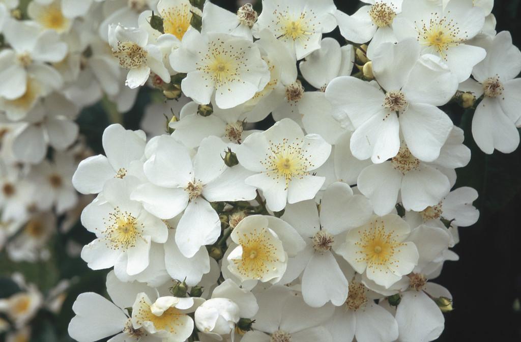 Mulligan rose