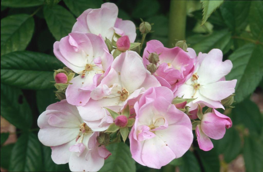 rose [Apple Blossom]