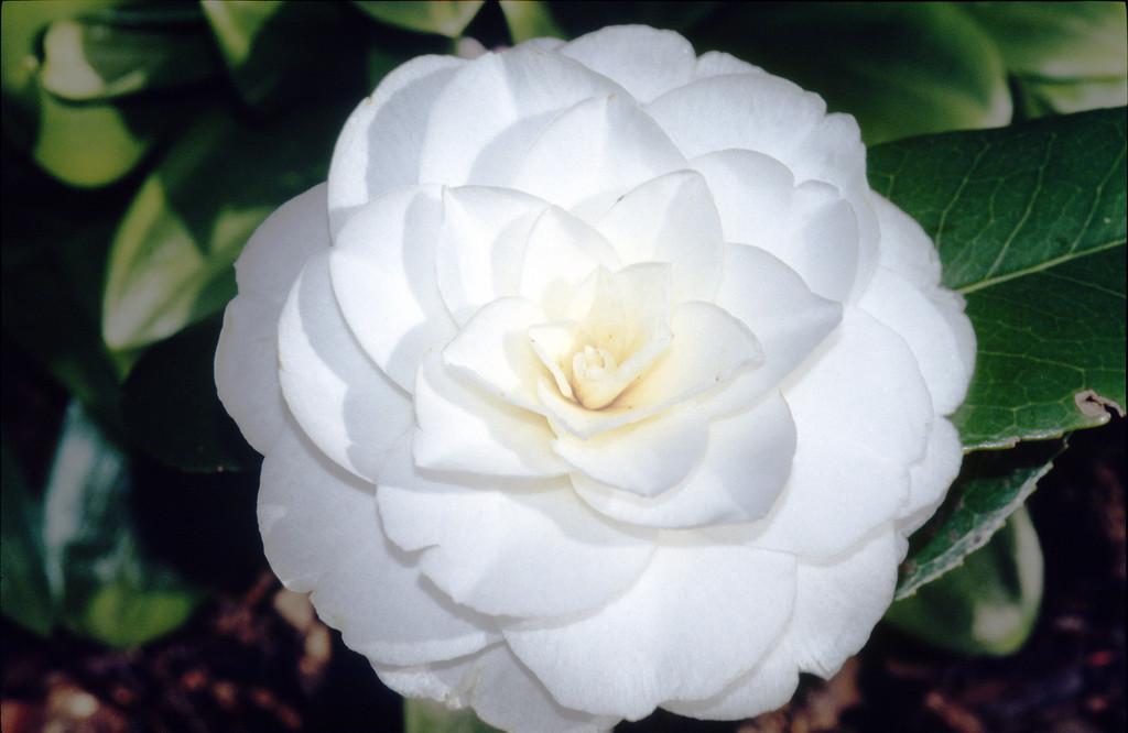 camellia 'Alba Plena'