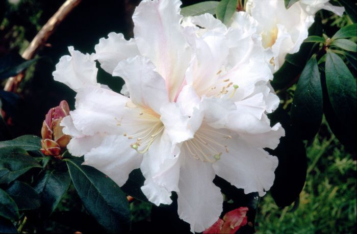 Lindley's rhododendron