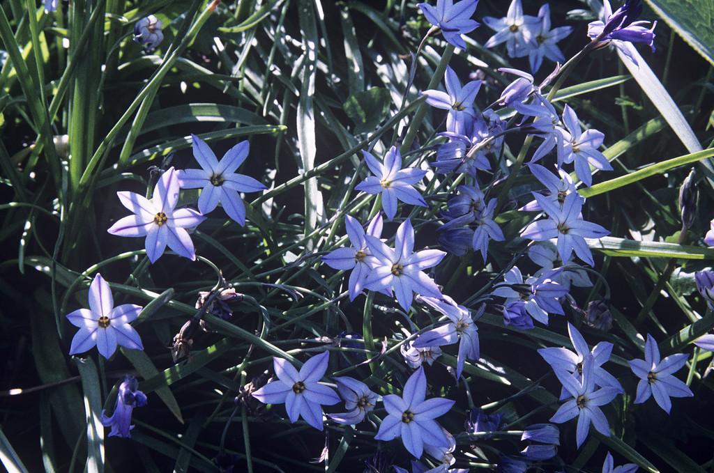 Ipheion Uniflorum Spring Starflowerrhs Gardening