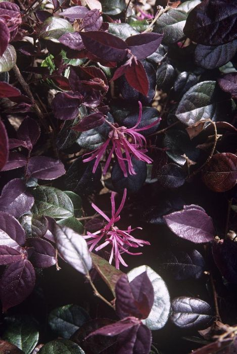 <i>Loropetalum chinense</i> var. <i>rubrum</i> 'Fire Dance'