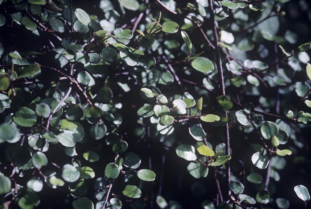 Australian ivy