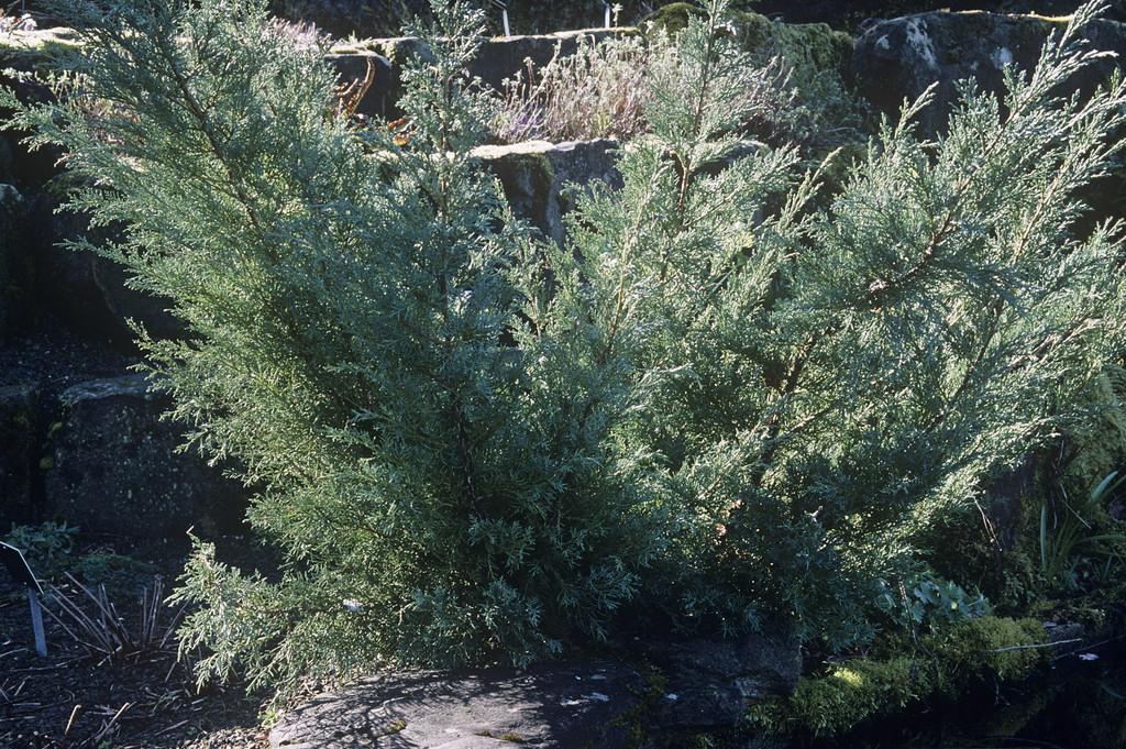 juniper 'Hetzii'