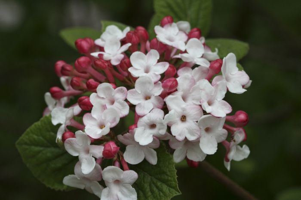 Viburnum carlesii koreanspice viburnumrhs gardening koreanspice viburnum mightylinksfo