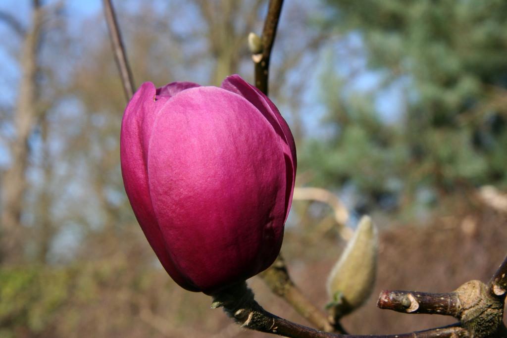 magnolia [Black Tulip]