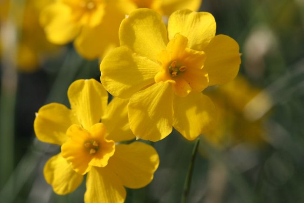 <i>Narcissus fernandesii</i> var. <i>cordubensis</i> (13)