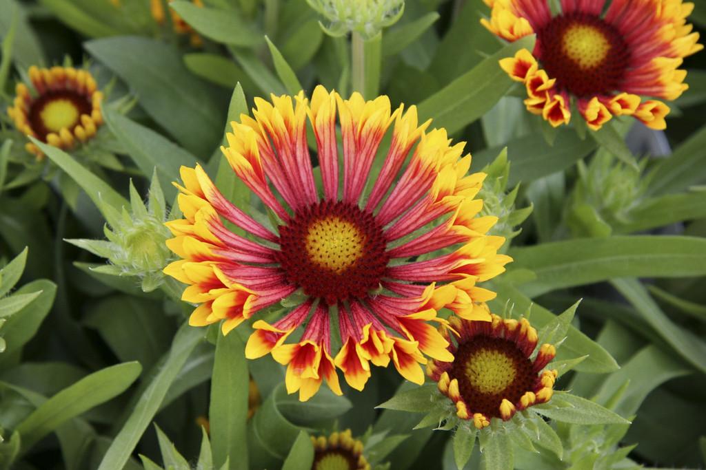 blanketflower 'Fanfare'