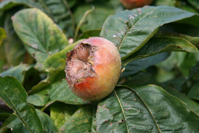 medlar 'Large Russian'