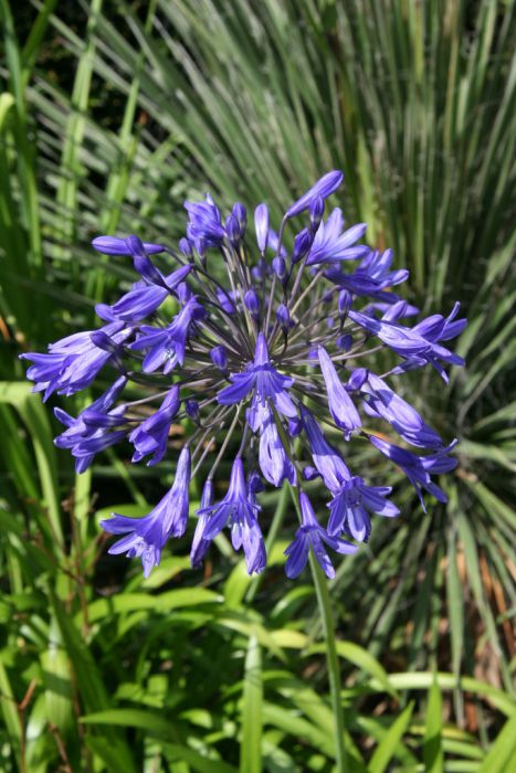 bell African lily