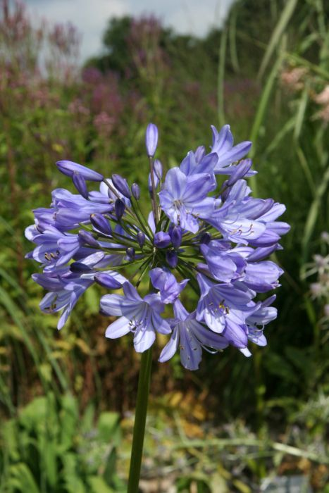 narrow-leaved African lily