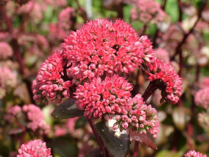 stonecrop 'Marchants Best Red'