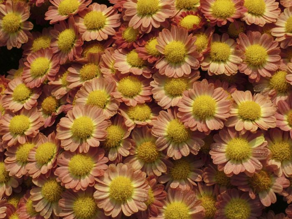 chrysanthemum 'Boulevard Bronze'