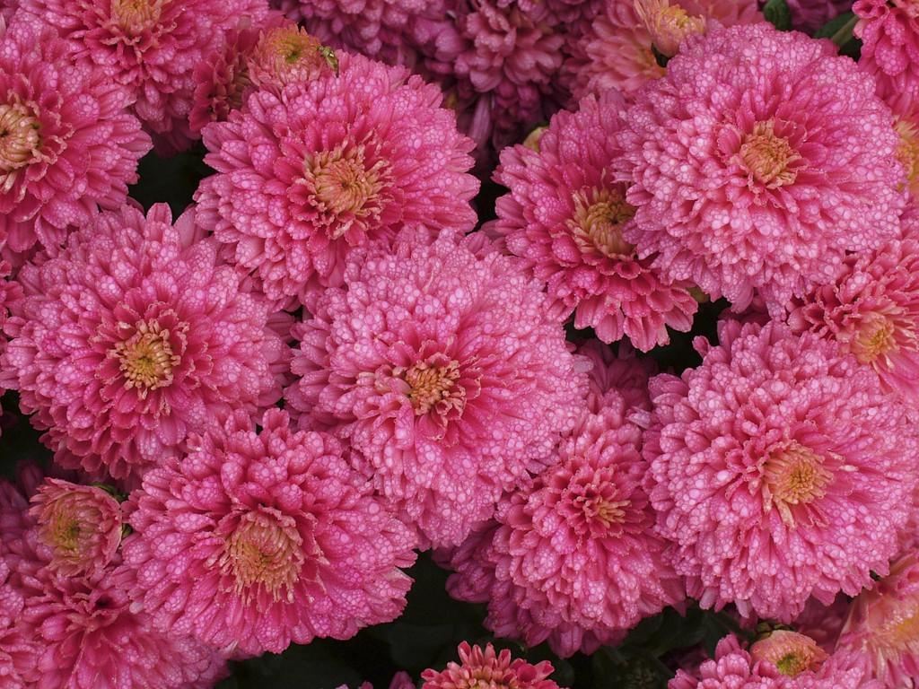 <i>Chrysanthemum</i> <Font Face='times New Roman'>Rose Pink Debonair</FONT> = 'Rosepink Yodebo' (22c)