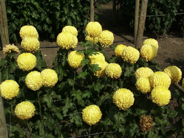 chrysanthemum 'Max Riley'
