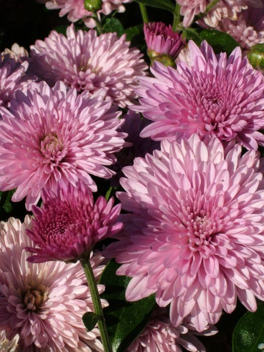 chrysanthemum 'Grandchild'
