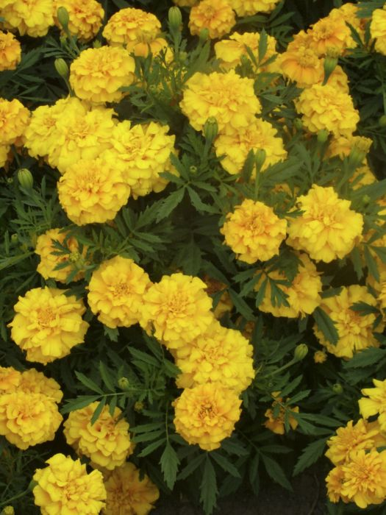 marigold 'Zenith Golden Yellow'