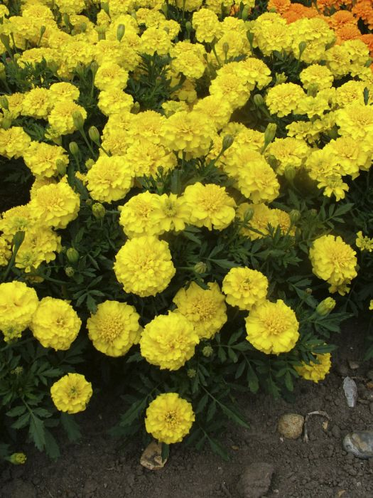 French marigold 'Yellow Jacket'