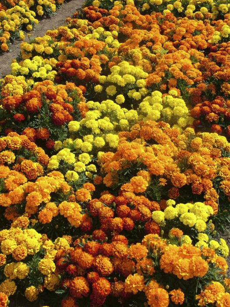French marigold Bonanza Series