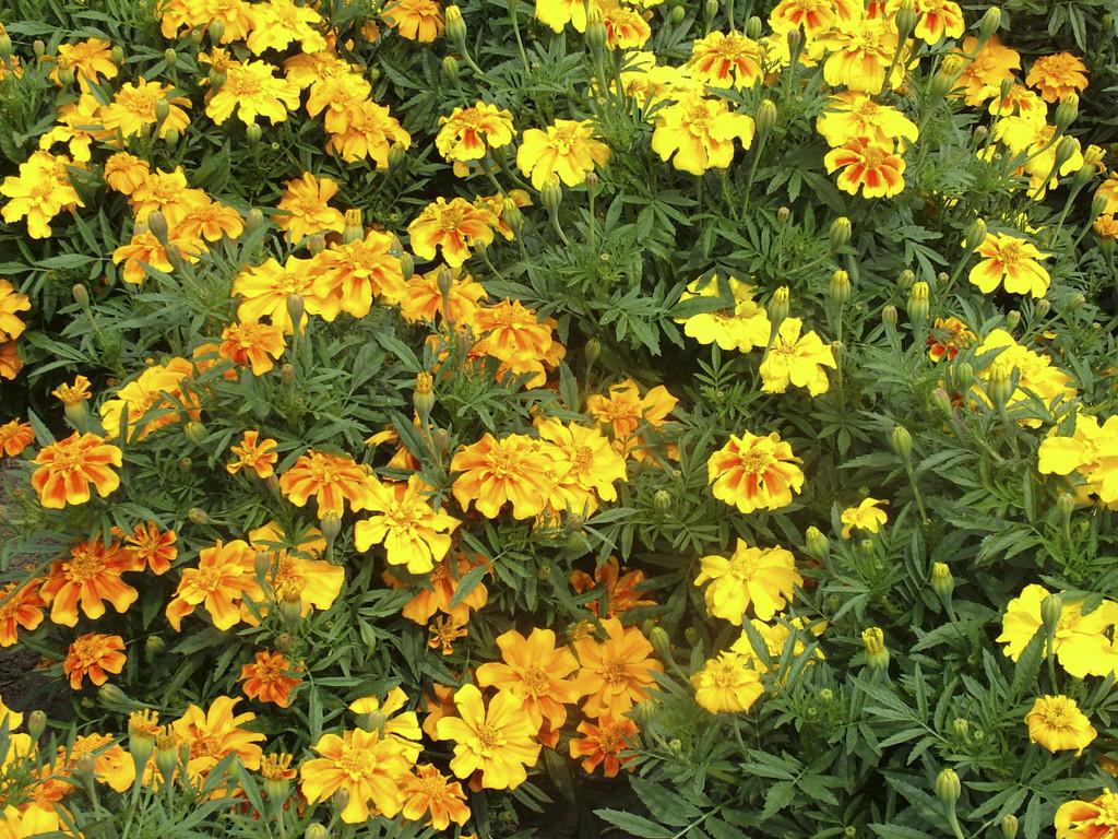 marigold Sunburst Series