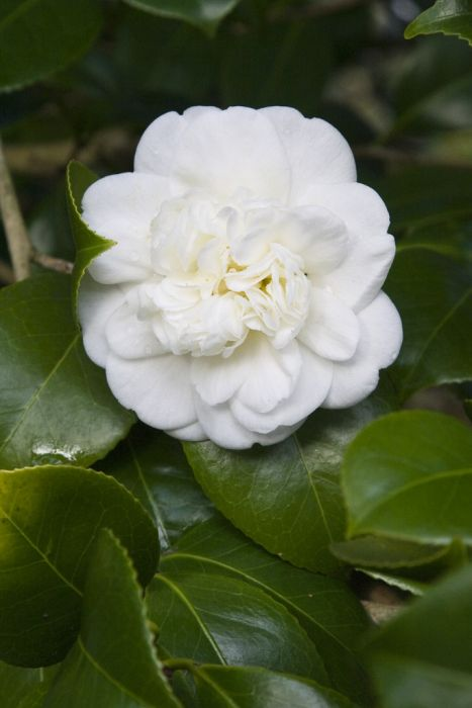 camellia 'Nobilissima'