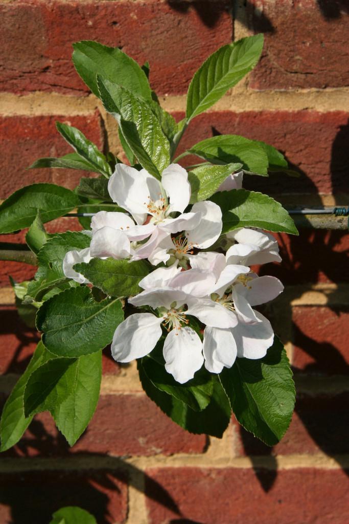 apple 'Charles Ross'