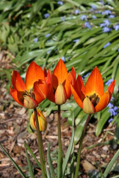 tulip Whittallii Group