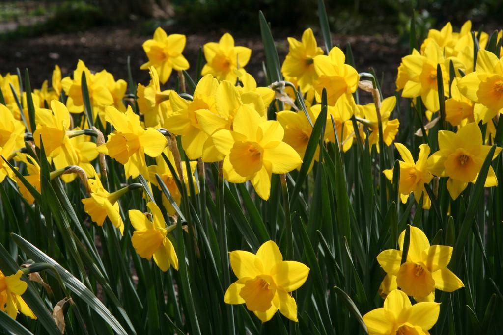 daffodil 'Rosemoor Gold'