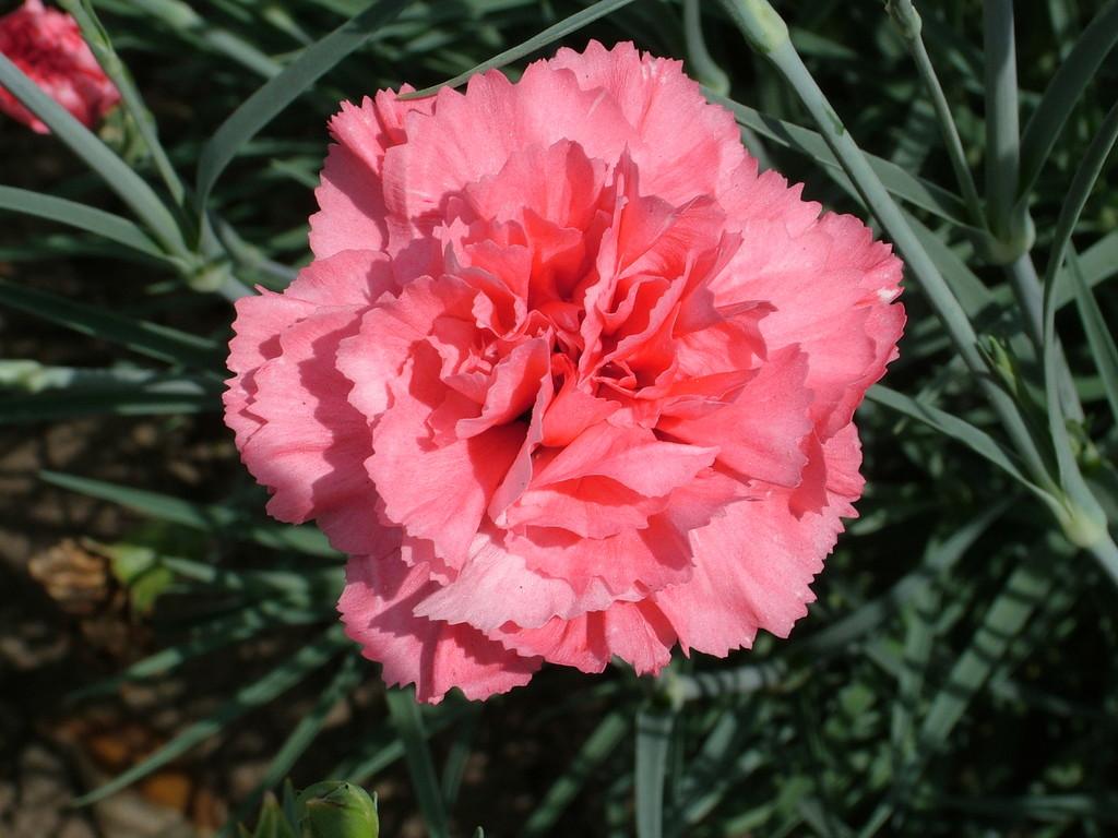 pink 'Carmine Letitia Wyatt'