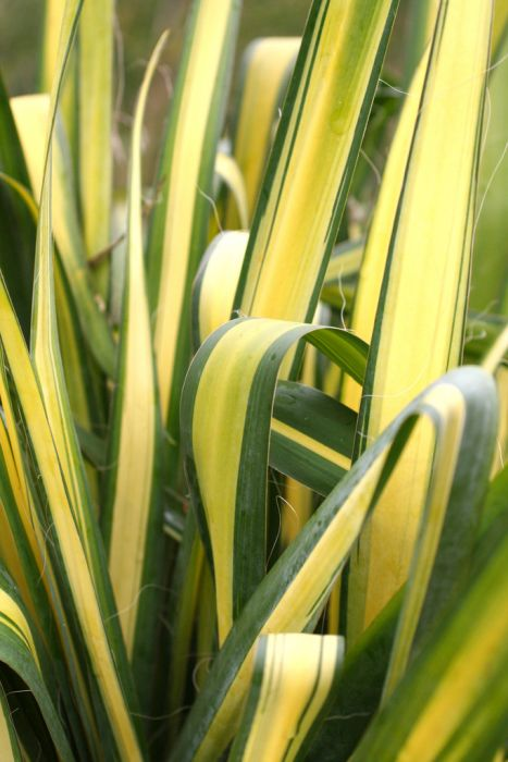 variegated needle palm 'Color Guard'