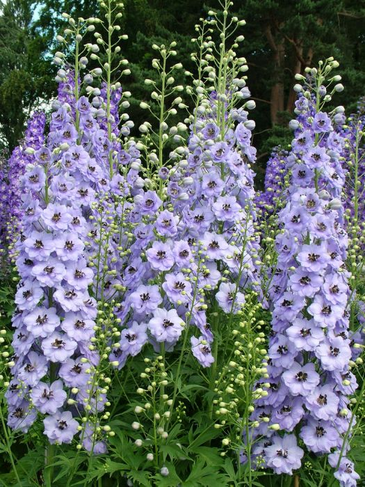 delphinium 'Holly Cookland Wilkins'